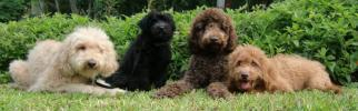 Labradoodle and Goldendoodle puppies from Spectacular Doodle in Paradise of HI