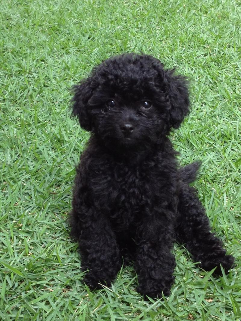 F1b toy poogle puppy is a lovely low-shedding puppy for sale on Oahu, Hawaii.